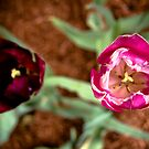 Tulip Duo by Rachel Blumenthal