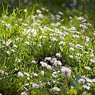 Daisy Field by Bradley Old