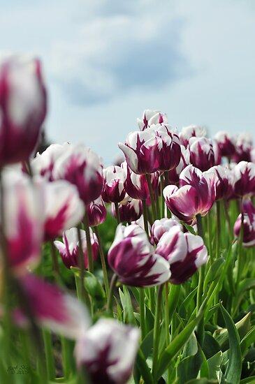 genielamb     Portfolio     Purple and White TulipsPurple And White Tulips