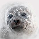 Seal pup by outwest photography.co.uk