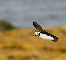 Puffin Flight by dsargent