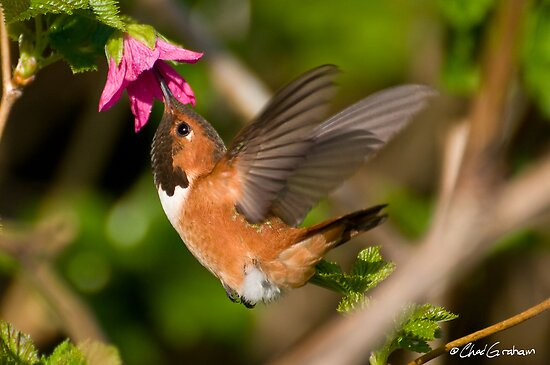 Hummingbird Madness by zpaperboyz