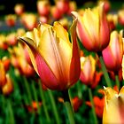A Tulip for Everyday by Tina Longwell