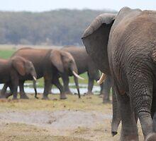 elephant traffic by karen peacock