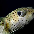 Puffer fish eye-ing off by jenitae