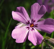 Phlox by Janine Benedict