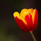 Tulip by Bobby McLeod