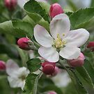 Michigan Apple Blossom by Karen K Smith