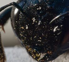 carpenter bee by jude walton