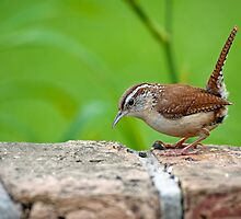 Saucy and Sassy Carolina Wren by Bonnie T.  Barry