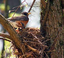 """""""Mom feeding baby Robins"""" by Melinda Stewart Page"""