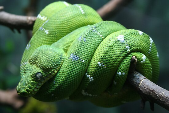 emerald tree boa by pallyduck