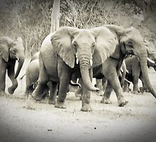 The running of the elephants by Ben Good