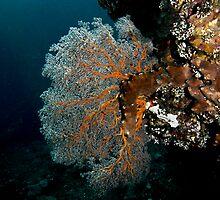 Gorgonian Seafan (2) by Marcel Botman