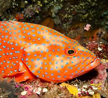 Coral Grouper by Marcel Botman