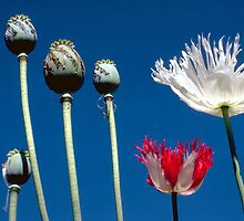 Opium poppies by John Spies