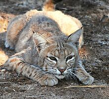 Bobcat by Angela Pritchard