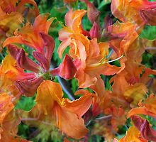 azalea mollis by Jimmy Joe