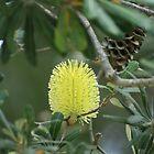 Banksia Puff by danav