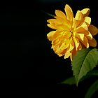 Dahlia in the setting sun by Michael Fotheringham Portraits