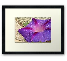 Purple Ipomoea With Raindrops and Stone Background Framed Print