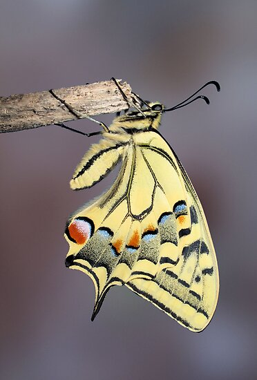 Swallowtail 2 by jimmy hoffman