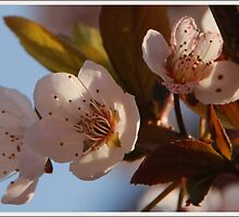cherry blossom by Heike Nagel