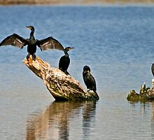 Double-Crested Cormorants by Gary Lengyel