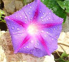 Star Shaped Morning Glory With Glistening Water  by taiche
