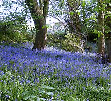 BlueBell Woods, Dutton, Cheshire. by AnnDixon