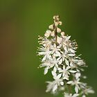 Foamflower in bloom by Karen Kaleta