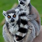 No Scarf Required... (Ring-Tailed Lemurs) by Krys Bailey