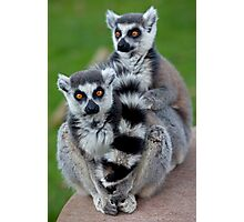 No Scarf Required... (Ring-Tailed Lemurs) Photographic Print