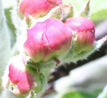 Macro Apple Blossoms by Allen Lucas