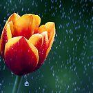 Tulip Rain by Bobby McLeod