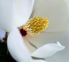 Magnolia by Renee Hubbard Fine Art Photography