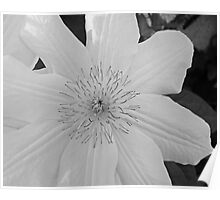 White Clematis Poster