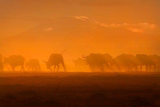 Buffalo in the dust, Amboseli National Park, Kenya, Africa. by photosecosse /barbara jones