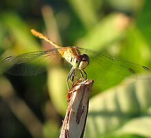 Broome Dragonfly by Guillotine