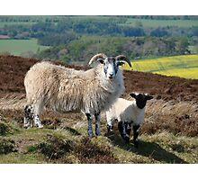 Scottish Sheep...... Photographic Print