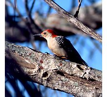 Red-bellied Woodpecker Photographic Print