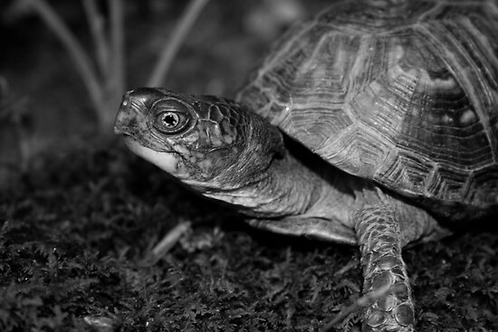 Eastern Box Turtle by Karen Kaleta