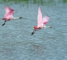Roseate Spoonbills Rising from the Rice Field by Bonnie T.  Barry