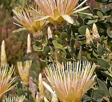 Wild Protea Hair by Kellea Croft