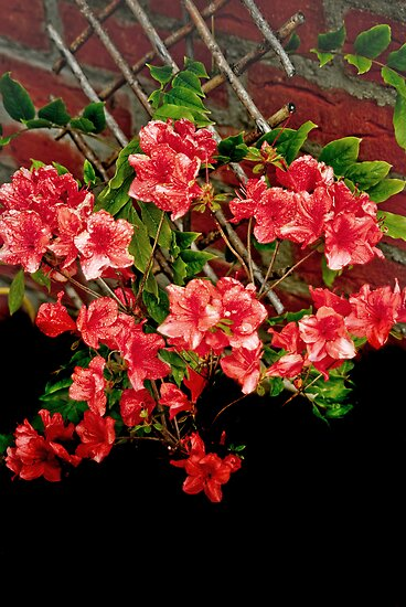 Azalea in the Garden by Catherine Hamilton-Veal  ©