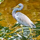 Tricolored Heron by Teresa Zieba