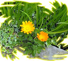 Marigolds by JacquiK