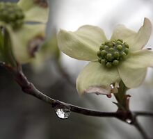 Dogwood in the spring rain by Harry Hoover