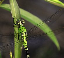 Green Dragonfly 2 by Dreebs