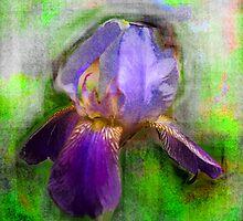 Rainbow Iris by kimbarose